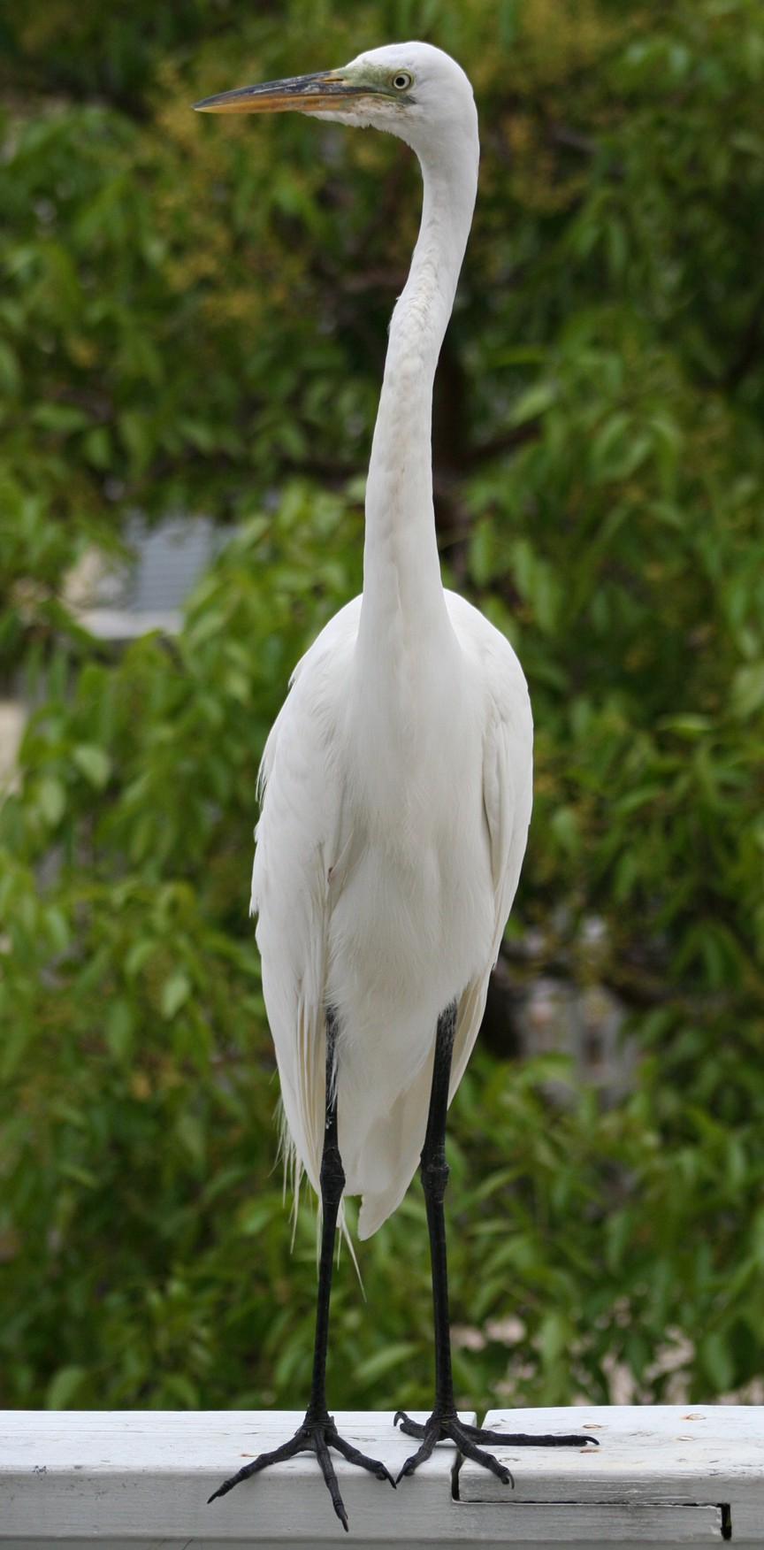 Egret on the porch.