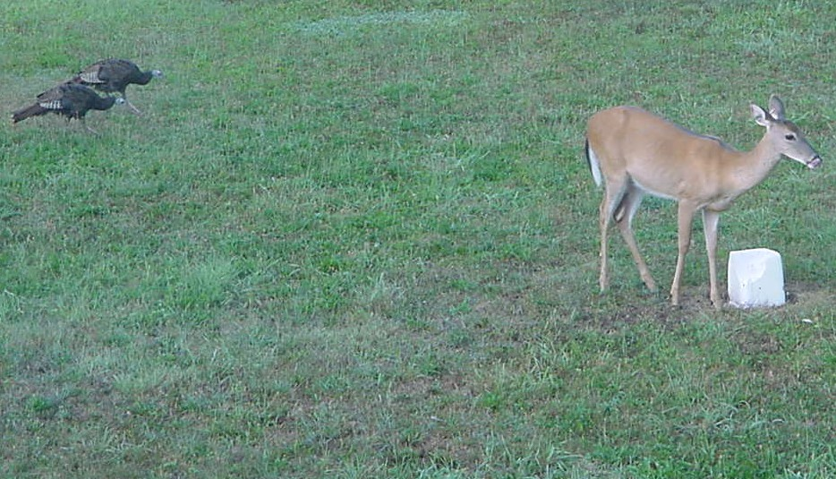 Backyard deer.