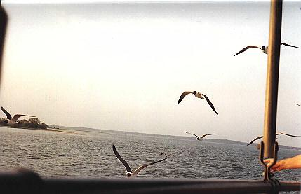 Seagulls from the Mystery cruise.